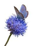 Farfalla blu sul ritaglio del fiore Immagini Stock