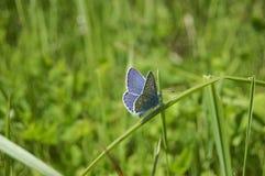 Farfalla blu sull'erba Fotografia Stock