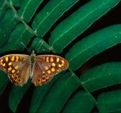 Farfalla - Brown Fotografie Stock