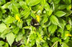 Farfalla brunastra Fotografia Stock