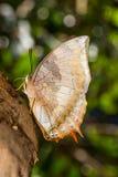 Farfalla bruno fulva del raja Immagine Stock Libera da Diritti