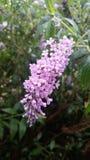 farfalla Bush Pioggia-baciata Fotografie Stock