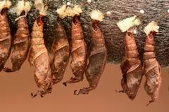 Farfalla Cacoons del cracker immagini stock