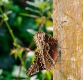 Farfalla Caligo Immagine Stock