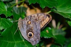 Farfalla Caligo Fotografia Stock Libera da Diritti