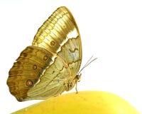 Farfalla cambogiana di Junglequeen che si appollaia sulla frutta gialla i del mango Immagini Stock Libere da Diritti
