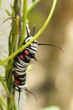 Farfalla Catapillar Fotografia Stock