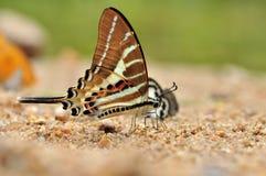 Farfalla Chain di Swordtail Immagini Stock