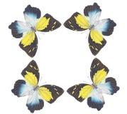 Farfalla che balla no.4 Immagini Stock Libere da Diritti