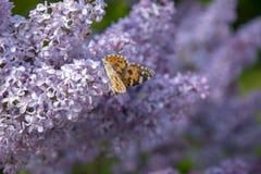 Farfalla che cerca nettare su un fiore acido fotografia stock libera da diritti