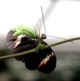 Farfalla che controlla le cose fuori Immagine Stock