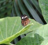 Farfalla che flette le sue ali Fotografie Stock Libere da Diritti