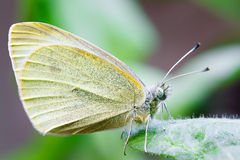 Farfalla che impollina un fiore Pieridae Immagini Stock Libere da Diritti