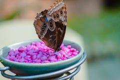 Farfalla che mangia da un alimentatore nella serra tropicale a Frederik Meijer Gardens fotografie stock