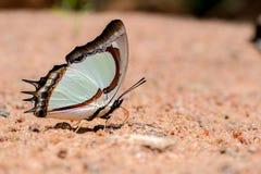 Farfalla che mangia minerale in sabbia (Nawab giallo indiano) fotografia stock libera da diritti