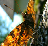 Farfalla che prende il sole Immagini Stock Libere da Diritti
