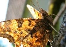 Farfalla che prende il sole Immagine Stock