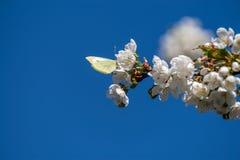 Farfalla che raccoglie polline su un ramo dei fiori di ciliegia fotografia stock libera da diritti