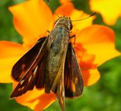 Farfalla che riposa sul fiore arancio Fotografia Stock