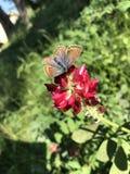Farfalla che si alimenta da un bluebonnet fotografia stock