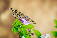 Farfalla che si alimenta sul fiore Immagini Stock