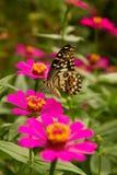 Farfalla che si alimenta sul fiore di zinnia Fotografie Stock