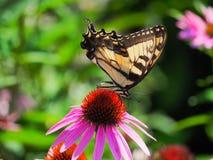 Farfalla che si alimenta un fiore porpora del cono Immagine Stock