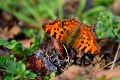 Farfalla che si diletta sulle prugne cadute Fotografia Stock Libera da Diritti