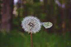 Farfalla che si siede su un dente di leone lanuginoso in primavera Fotografie Stock