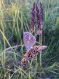 Farfalla che si siede su un'erba Fotografie Stock Libere da Diritti
