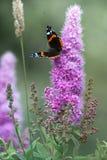 Farfalla che si siede su un fiore Immagine Stock