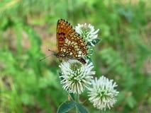 Farfalla che si siede su un fiore del trifoglio Fotografia Stock