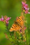 Farfalla che si siede su un prato del fiore Immagine Stock Libera da Diritti