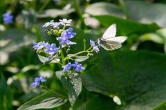 Farfalla che si siede sul fiore della viola del prato Fotografia Stock