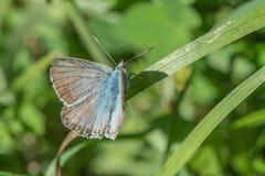 Farfalla che si siede sul fiore porpora Immagini Stock