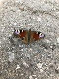 Farfalla che si siede sull'asfalto Fotografia Stock Libera da Diritti