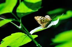 Farfalla che si siede sulla foglia verde nel sole Immagini Stock