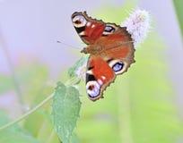 Farfalla che si siede sulle macro foglie del cardo selvatico Fotografia Stock