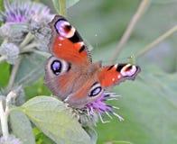 Farfalla che si siede sulle macro foglie del cardo selvatico Immagini Stock