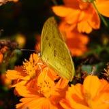 Farfalla che succhia nettare. Immagine Stock
