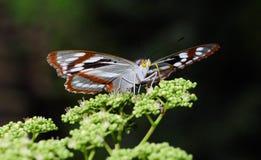 Farfalla (chevana di Mimathyma) Immagini Stock