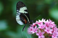 Farfalla chiave del piano Immagine Stock