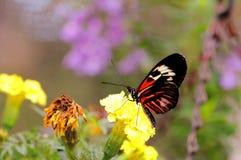 Farfalla chiave del piano sui fiori gialli Fotografie Stock Libere da Diritti