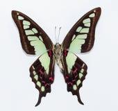 Farfalla (cloanthus di Graphium) Fotografia Stock