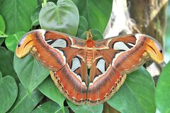 Farfalla Cobra Attacus atlas Stock Image