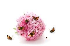 Farfalla, coccinelle e bombo sui fiori dentellare Fotografie Stock