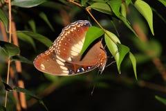 Farfalla - coda di rondine del frutteto - aegeus di Papilio Immagini Stock Libere da Diritti