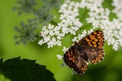 Farfalla colorata sui fiori Fotografia Stock Libera da Diritti