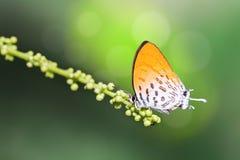 Farfalla comune del bouquet Immagini Stock