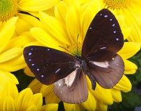 Farfalla comune del corvo Immagini Stock
